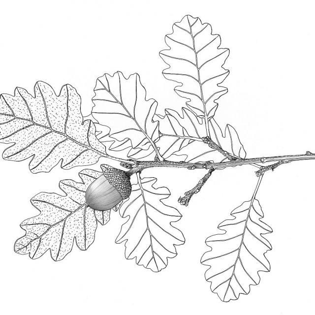Feuilles de chêne © F. Lévy - Parc national des Ecrins