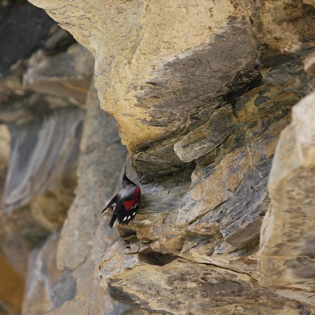 Tichodrome échelette © D. Combrisson - Parc national des Ecrins