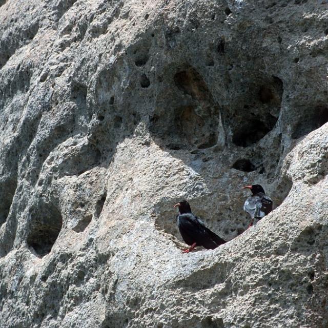 Crave à bec rouge © Parc national des Ecrins