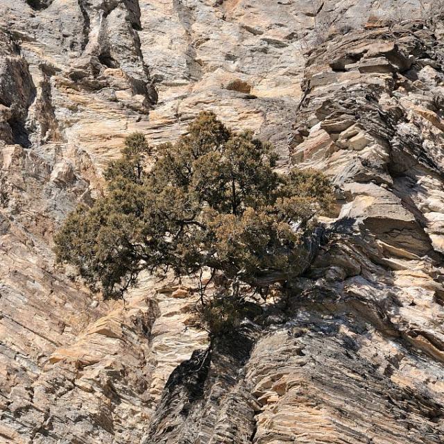 Genévrier thurifère © M. Coulon - Parc national des Ecrins