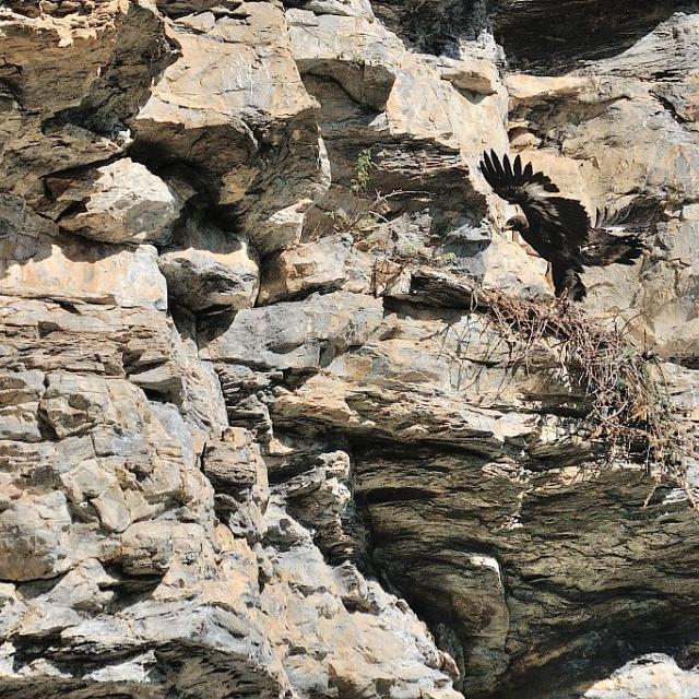 Jeune aigle au nid apprenant à voler © M. Coulon - Parc national des Ecrins