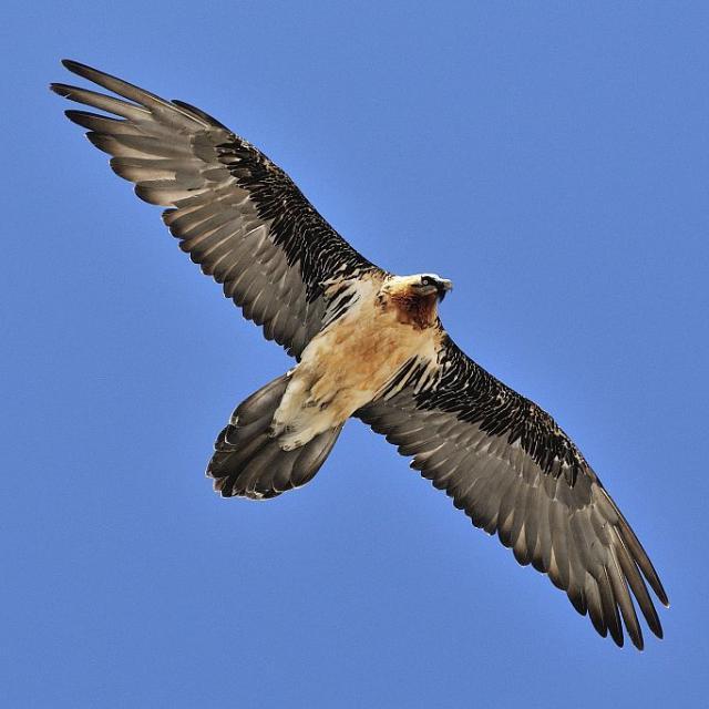 Gypaète barbu adulte en vol © M. Coulon - Parc national des Ecrins