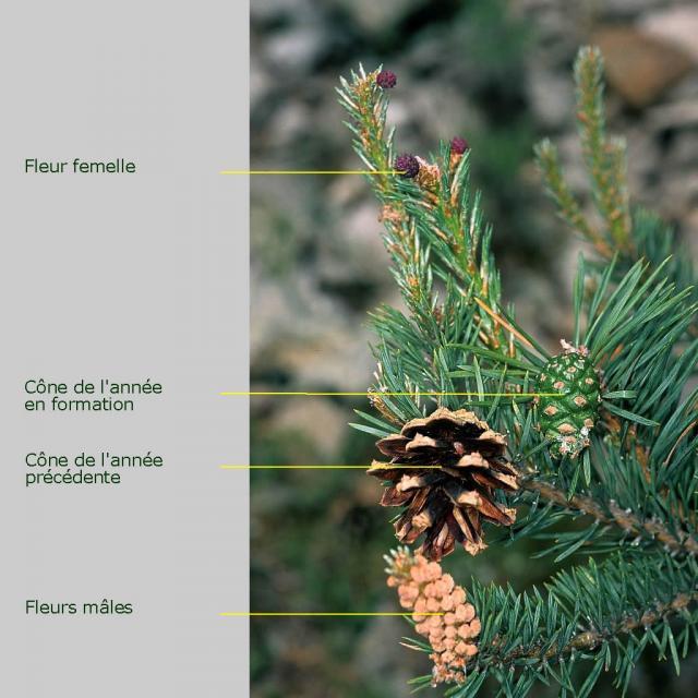Fleurs et cônes de pin sylvestre © PNE.