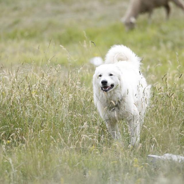 chien protection © M.Corail - Parc national des Écrins