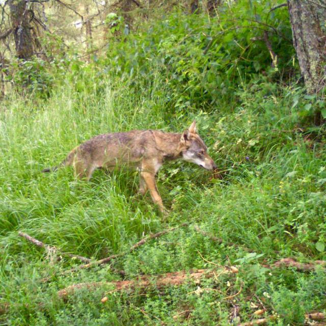 Loup  © R.Papet - Parc national des Écrins