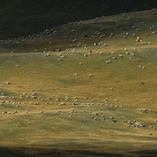 Troupeau au plateau d'Emparis - Besse © Mireille Coulon - Parc national des Ecrins