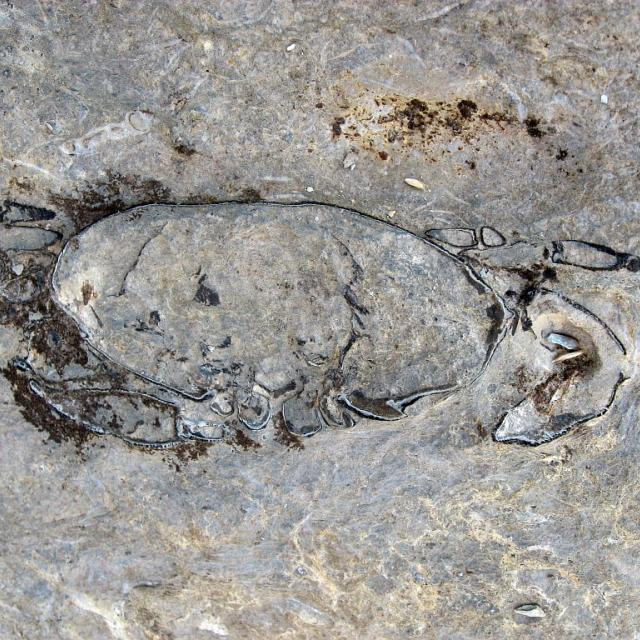 Crabes fossiles © Thierry maillet - Parc national des Ecrins