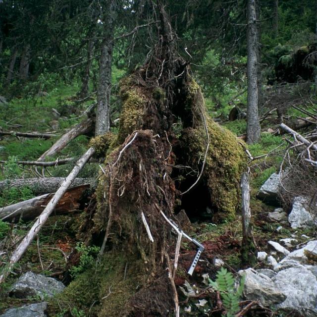 Epicea renversé découvrant un lit de charbon de bois © Jean-Pierre Nicollet - Parc national des Ecrins