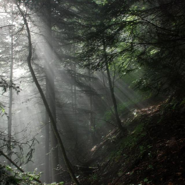 Lumière dans la sapinière © Bernard Nicollet - Parc national des Ecrins