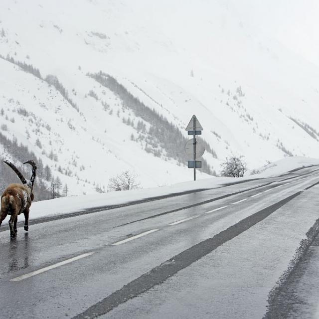 A proximité du Pont de l'Alpe, Omar le bouquetin préfère la route aux 80cm de neige fraîche © Cyril Coursier - Parc national des Ecrins