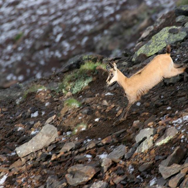 Chamois au Puy des Pourroys - Eterle © Marc Corail - Parc national des Ecrins