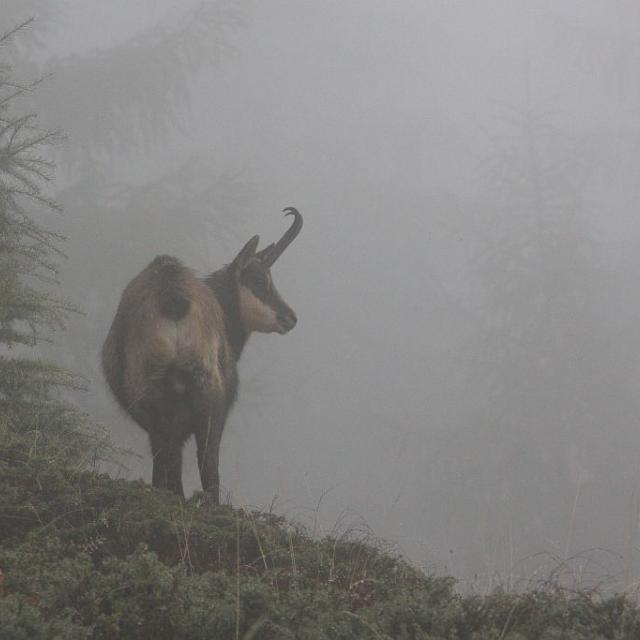 Chamois © Marc Corail - Parc national des Ecrins