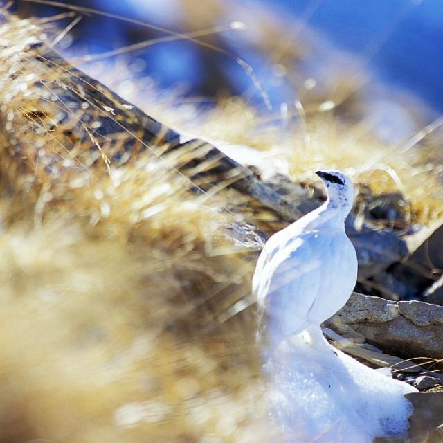 Lagopède à l'Aiguille d'Orcières © Marc Corail - Parc national des Ecrins