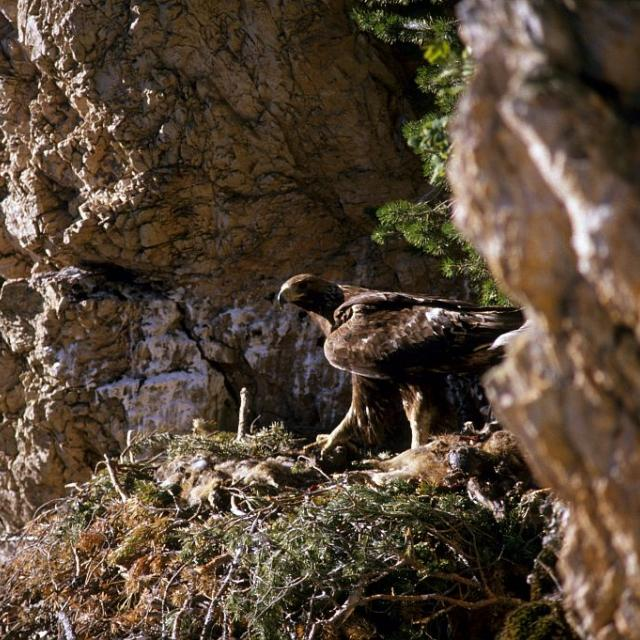 Aigle royal sur son aire © Robert Chevalier - Parc national des Ecrins