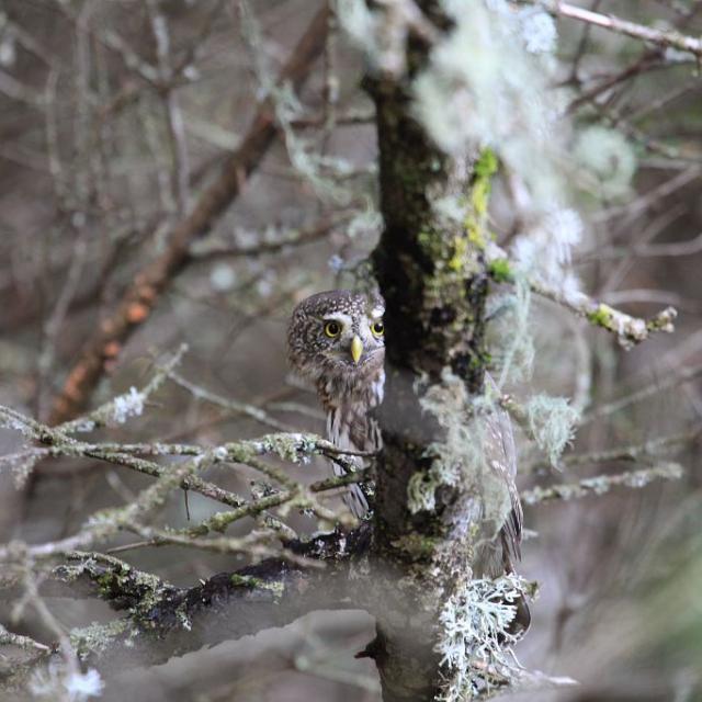 Chevêchette d'Europe - Ravin de Combeyron © Marc Corail - Parc national des Ecrins