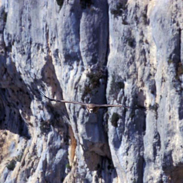 Vautour fauve © Marc Corail - Parc national des Ecrins