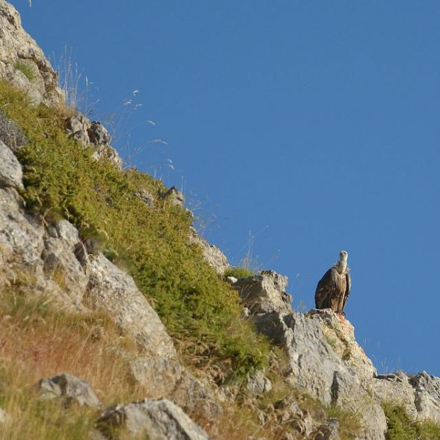 Vautour fauve posé © Mireille Coulon - Parc national des Ecrins
