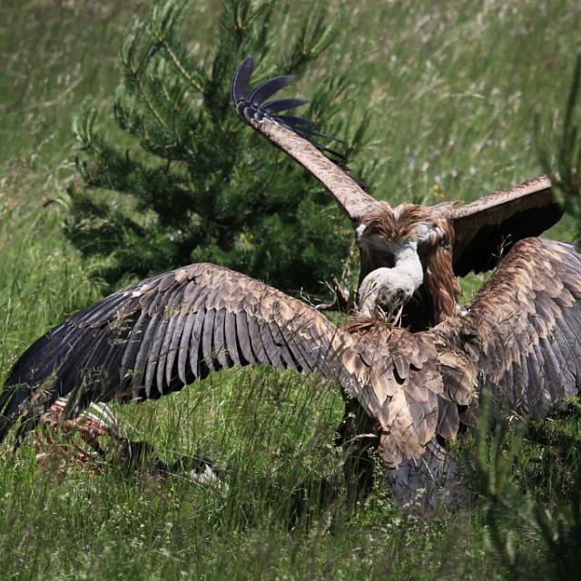 Cerf elaphe consommé par des vautours fauves © Marc Corail - Parc national des Ecrins