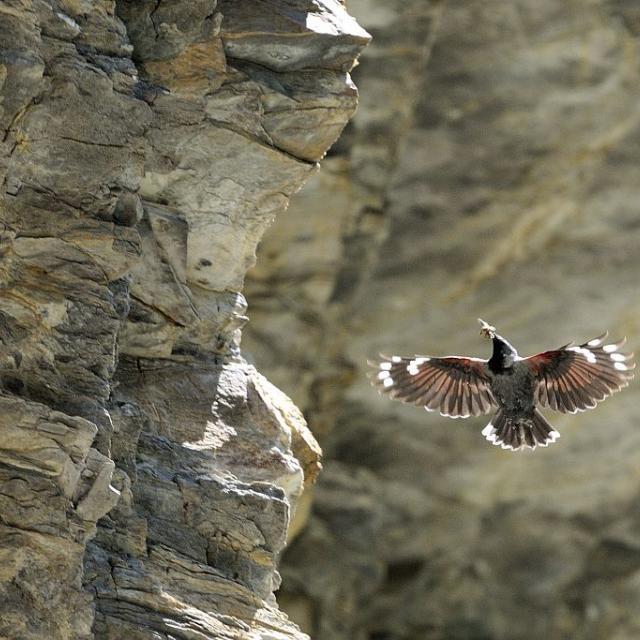 Tichodrome échelette © Mireille Coulon - Parc national des Ecrins
