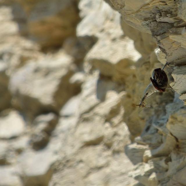 Tichodrome échelette  femelle nourrissage © Mireille Coulon - Parc national des Ecrins