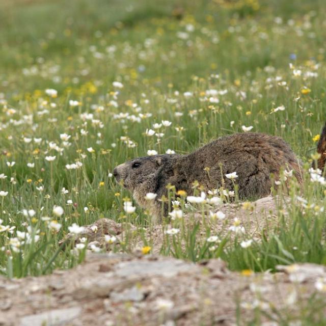 Marmotte au printemps - Robert Chevalier - Parc national des Ecrins