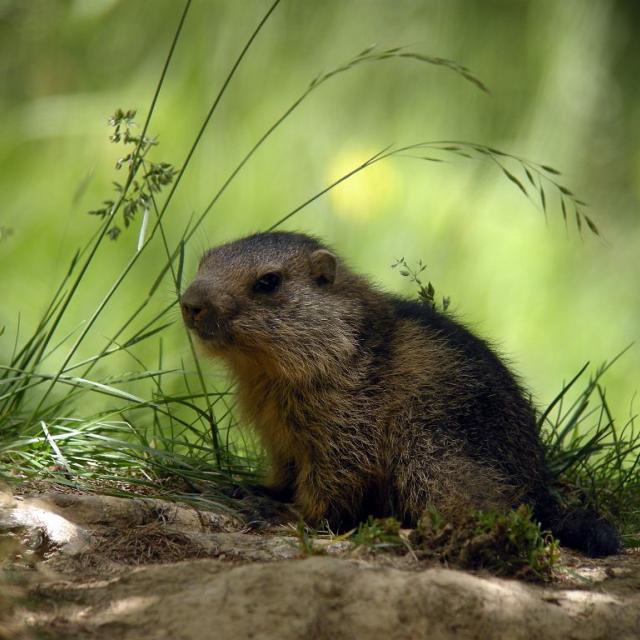 Jeune marmotte © Damien Combrisson - Parc national des Ecrins