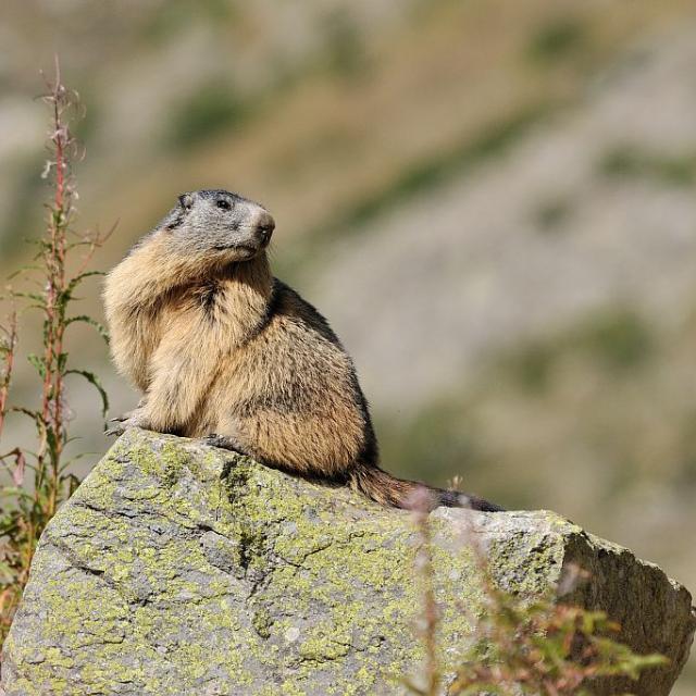 Marmotte © Mireille Coulon - Parc national des Ecrins