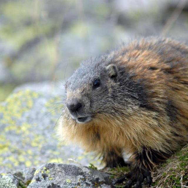 Marmotte au printemps au Saut du Laire - Prapic © Rodolphe Papet - Parc national des Ecrins