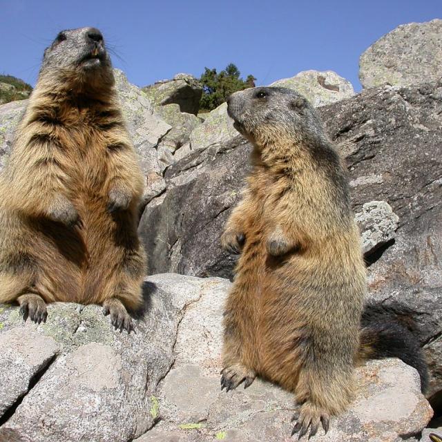 Marmottes au Lac Lauvitel © Denis Fiat - Parc national des Ecrins