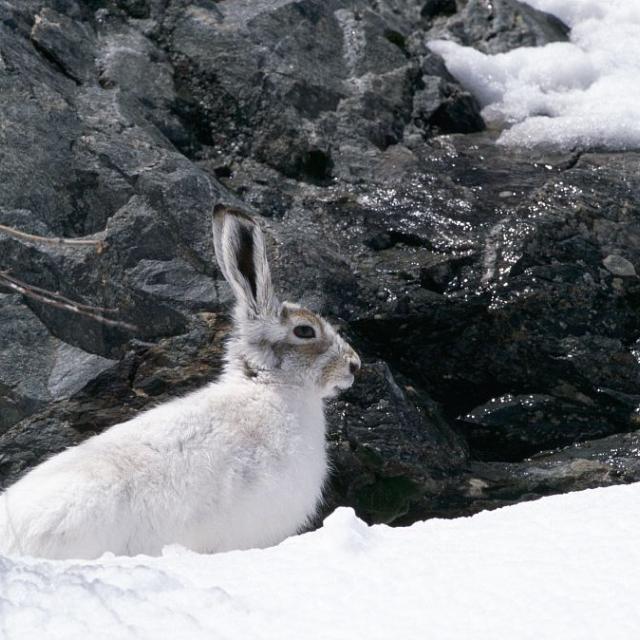 Lièvre variable © Denis Fiat - Parc national des Ecrins