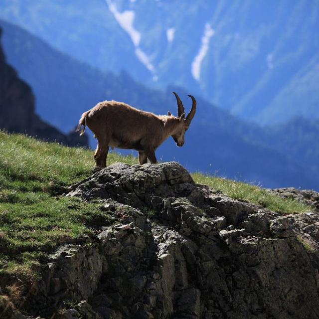 Bouquetin des Alpes - Valestrèche © Marc Corail - Parc national des Ecrins