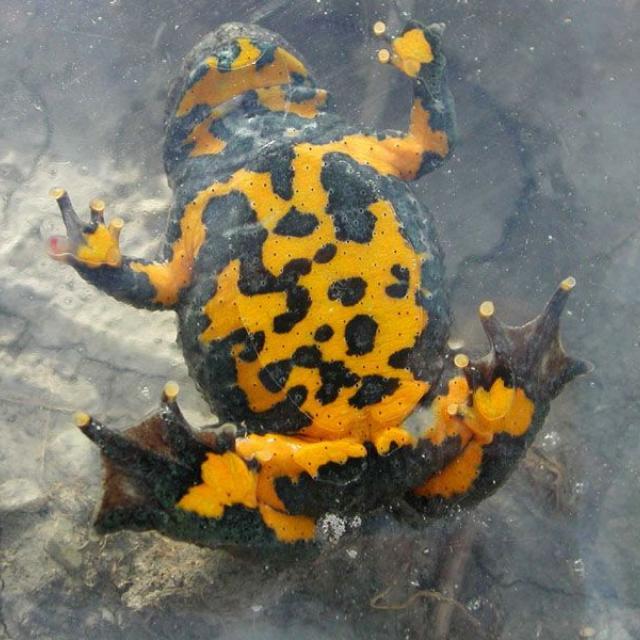 Sonneur à ventre jaune © Marc Corail - Parc national des Ecrins