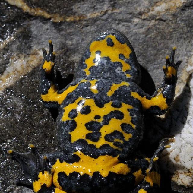 Sonneur à ventre jaune - face ventrale © Mireille Coulon - Parc national des Ecrins