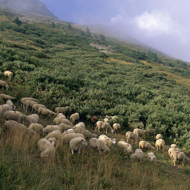Troupeau dans les aulnes verts, La Verzilla © Bernard Nicollet - Parc national  des Ecrins