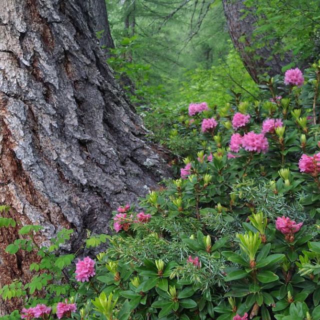 Rhododendrons devant mélèzes en crosse © Marion Digier - Parc national des Ecrins