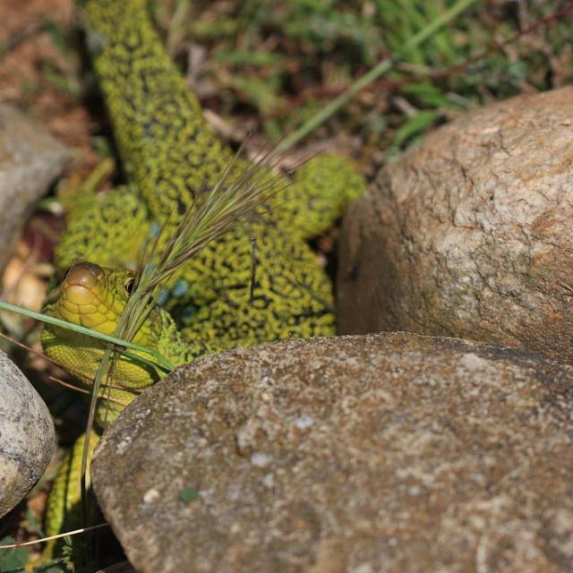 Lézard ocellé © Marc Corail - Parc national des Ecrins
