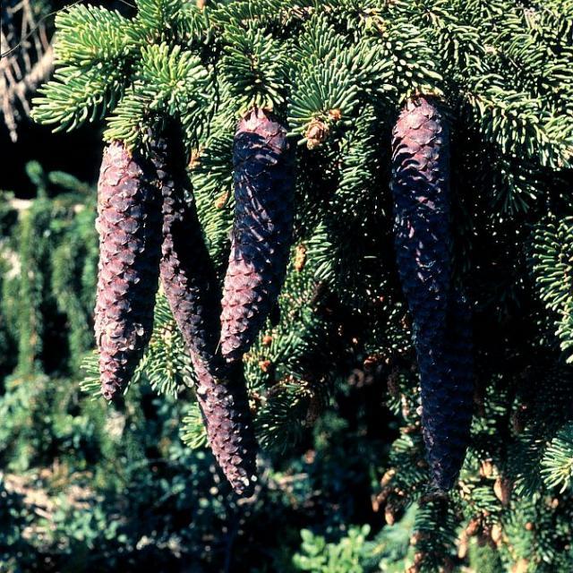 Epicea commun - cônes © Bernard Nicollet - Parc national des Ecrins