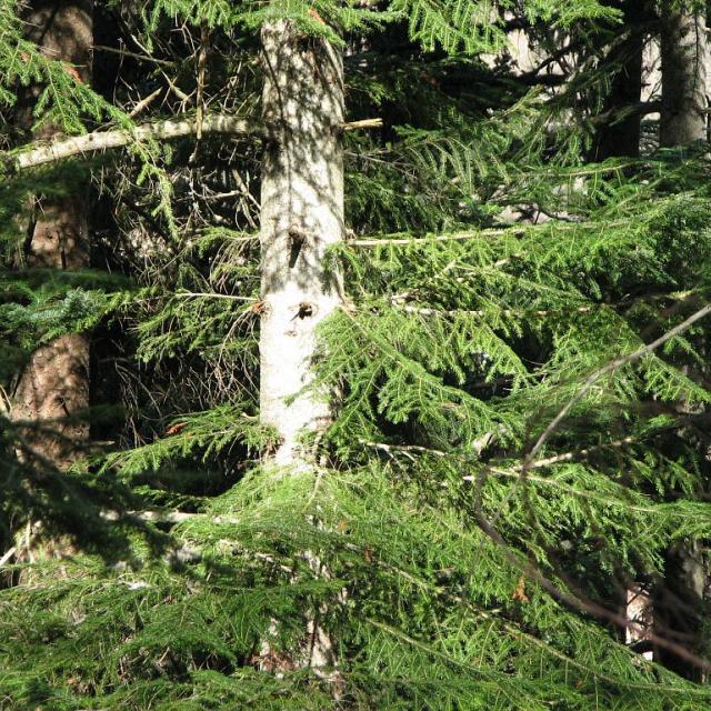 Sapin blanc, encore appelé sapin pectiné © Christophe Albert - Parc national des Ecrins