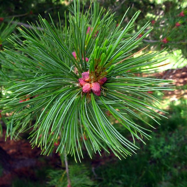 Pin cembro - arolle © Cyril Coursier - Parc national des Ecrins