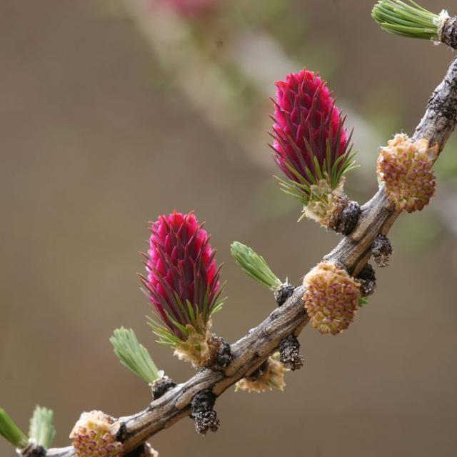 Mélèze (inflorescences jaunes mâles et rouges femelles) © Robert Chevalier - Parc national des Ecrins