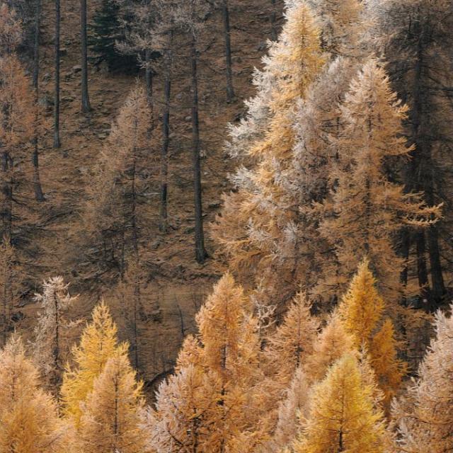 Mélezin à l'automne - brume et givre © Mireille Coulon - Parc national des Ecrins
