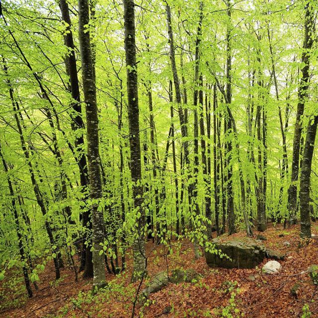 Sous bois de hêtres au primtemps © Mireille Coulon - Parc national des Ecrins