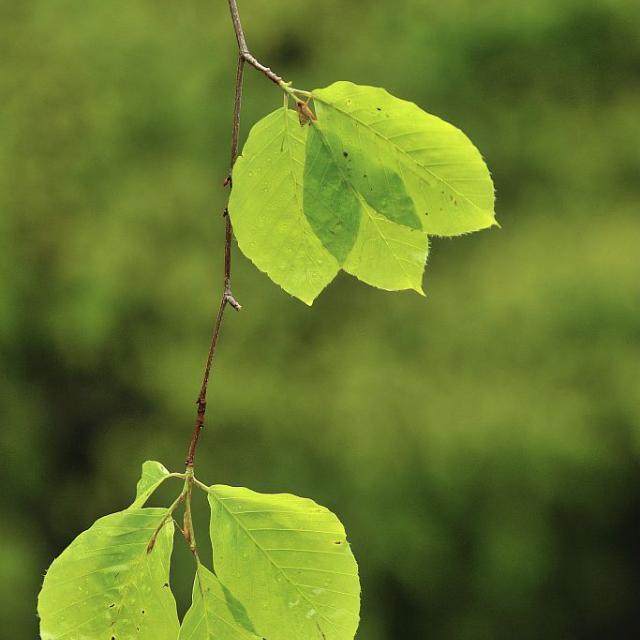 Jeunes feuilles de hêtre sous la pluie © Mireille Coulon - Parc national des Ecrins