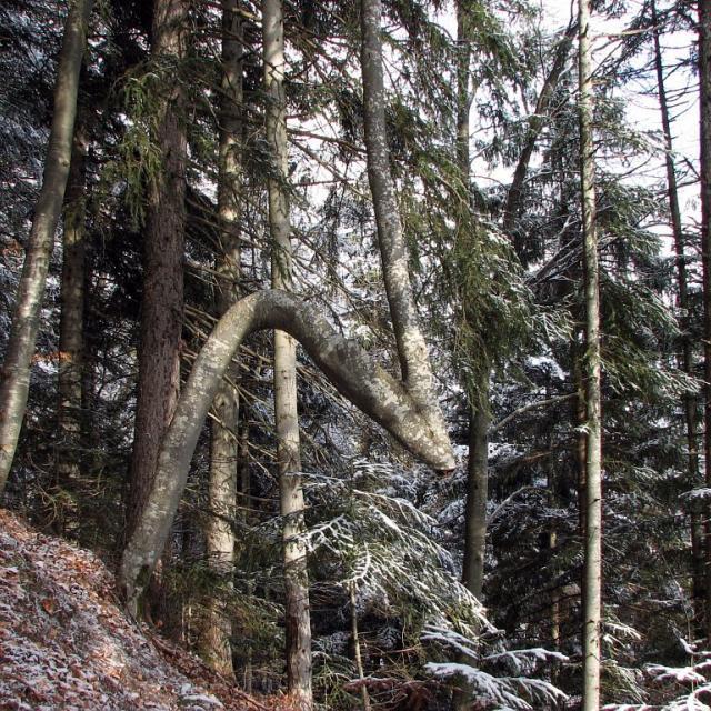 Hêtres fusionnés - échange de troncs - arbre en Z - sentier du puy d'oulles à la palud d'Ornon © Christophe Albert - Parc national des Ecrins
