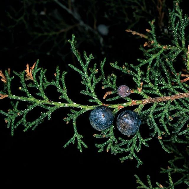 Fruits du genévrier thurifère © Bernard Nicollet - Parc national des Ecrins