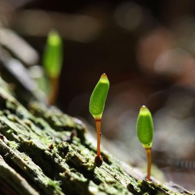 Buxbaumie © Cédric Dentant - Parc national des Ecrins