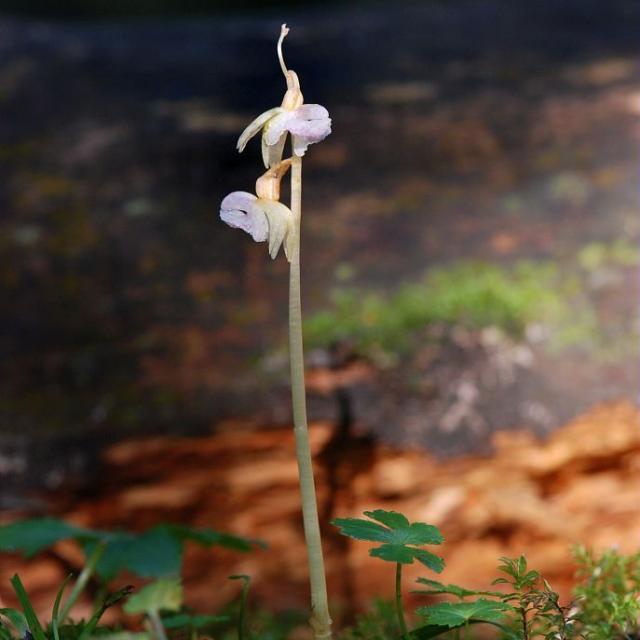 Epipogon sans feuilles © Bernard Nicollet - Parc national des Ecrins