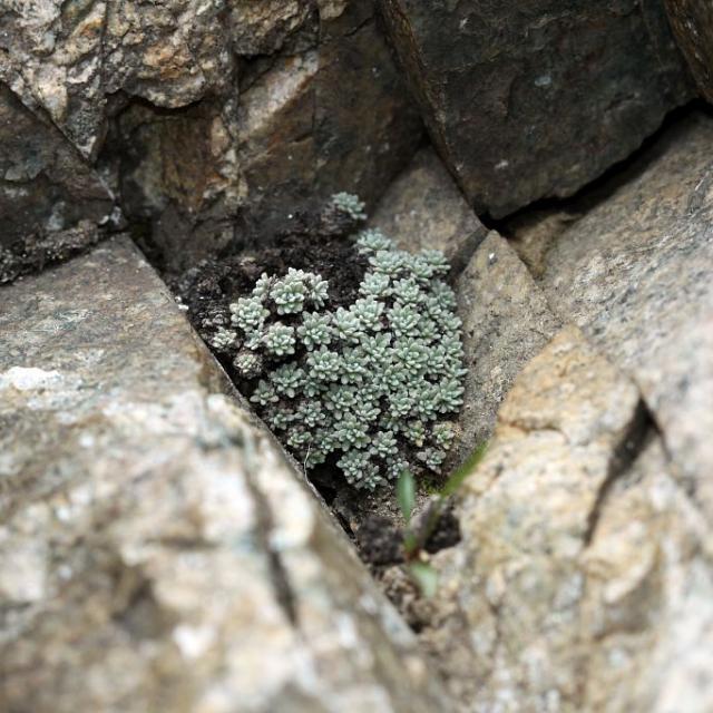 Androsace de Vandelli - Primulacées -  Aiguilles des Frères Estienne - Vallouise © Cédric Dentant - Parc national des Ecrins