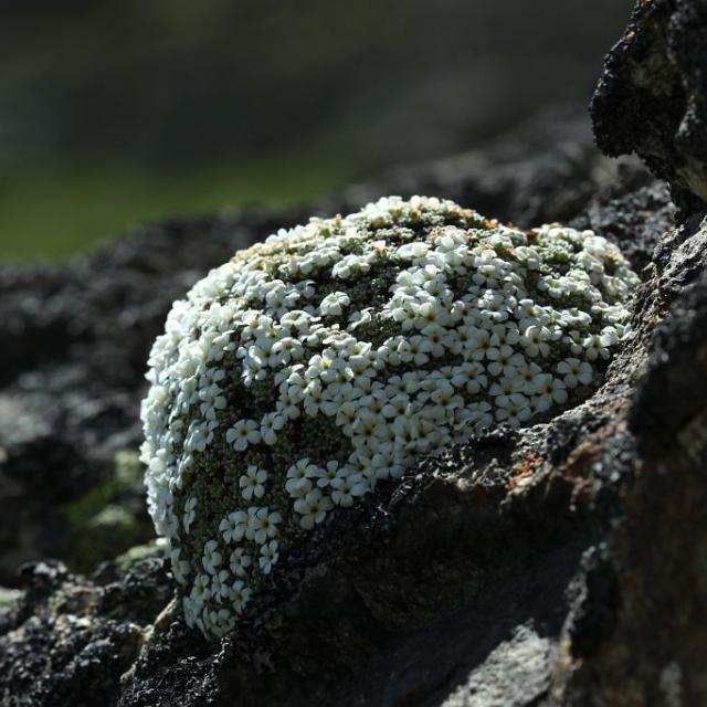 Androsace de Vandelli - granite vers le Refuge du Pigeonnier © Cédric Dentant - Parc national des Ecrins