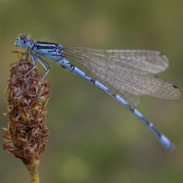 Agrion de Mercure © Damien Combrisson - Parc national des Ecrins